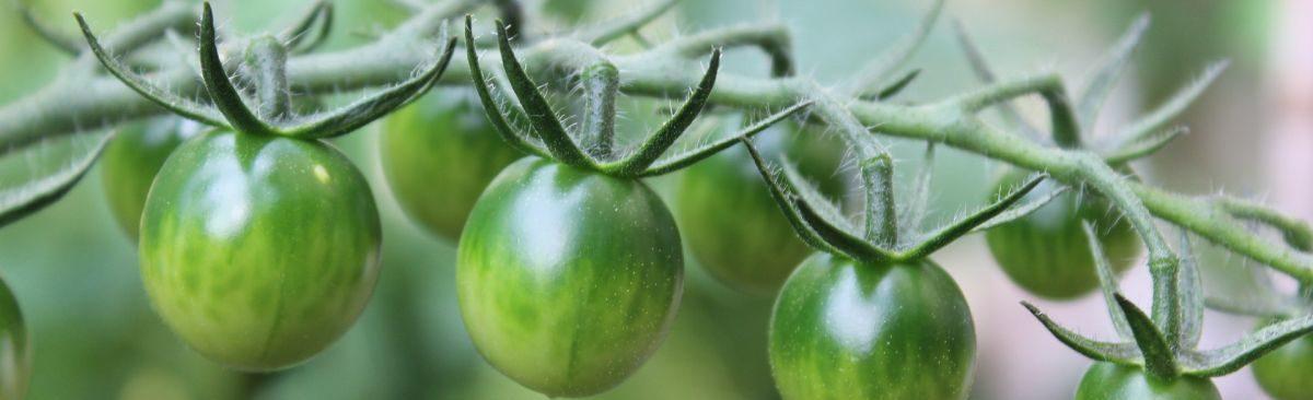 Tomaten im Gemeinschaftsgarten in Leipzig